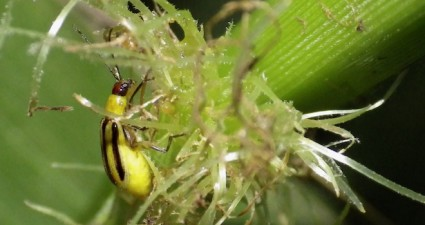 corn_rootworm