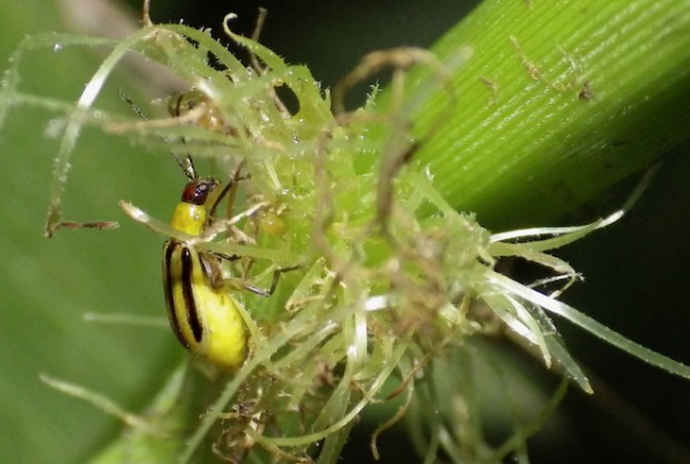 corn_rootworm