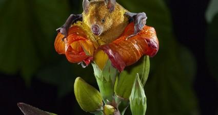 bat-pollen-tuttle_77417_990x742