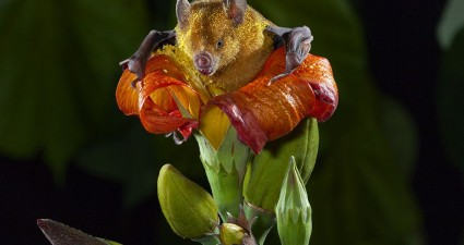 bat-pollen-tuttle_77417_990x742