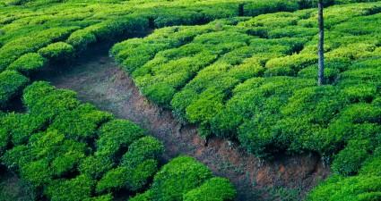 green_tea_field-wallpaper-1920x1080