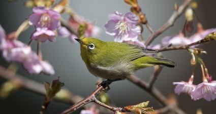 japanese-white-eye-cherry-blossom_78168_990x742