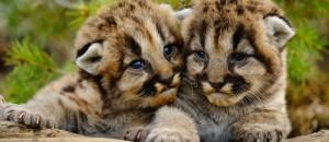 Mountain lion cubs